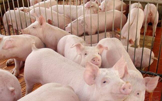 猪价连续大涨3个月!养户有的大赚,有的也亏不少
