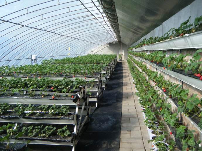 如何种植大棚草莓?