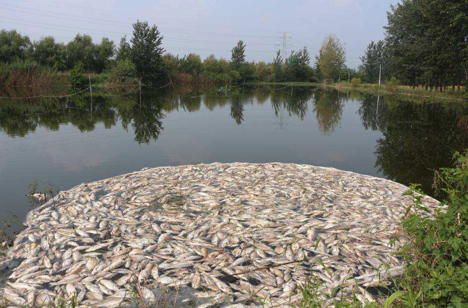 剖析水产养殖氨氮中毒的根本原因及氨氮超标的处理方法