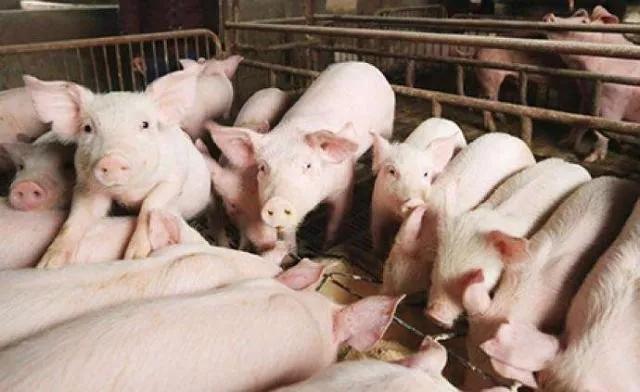 最新!各省定下今年最低生猪出栏任务:湖南4500万头、四川4008万头、广东3400万头......